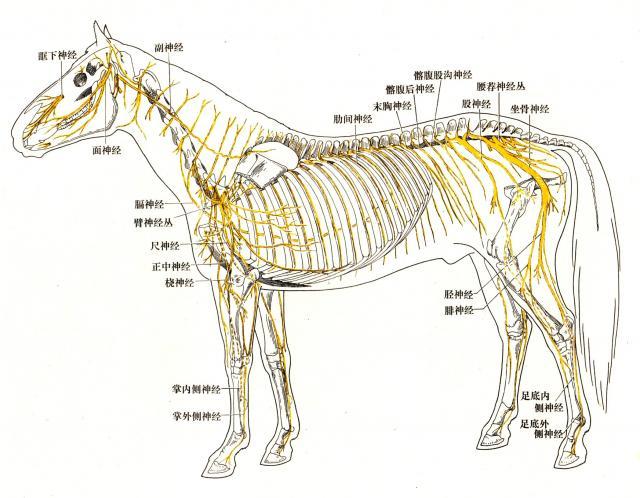 背部肌肉分布_脊神经-云端兽医知识库:技术文章